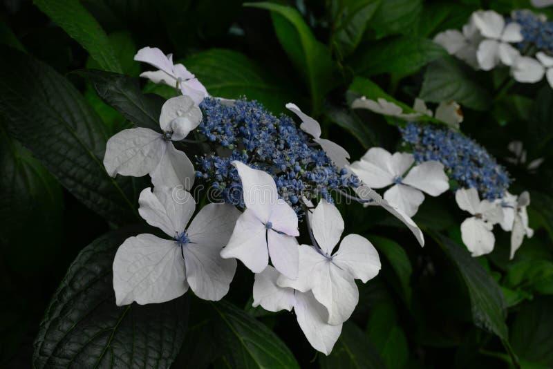 Aspera blanco y azul de la hortensia fotos de archivo