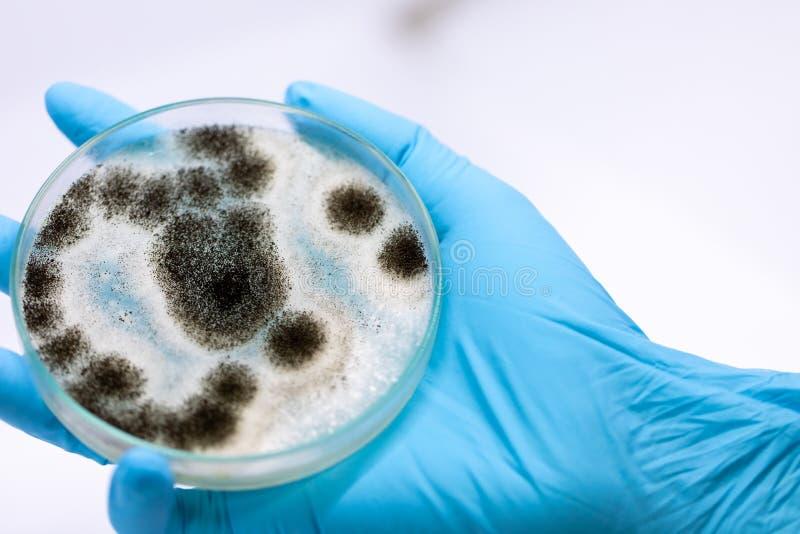 Aspergillusform för mikrobiologi i labb royaltyfri foto