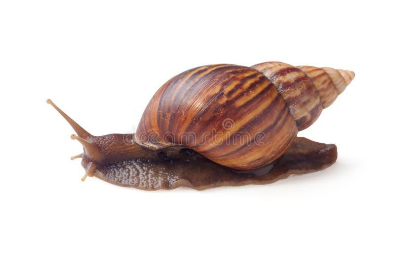 Aspersum del cuerno del caracol de jard n del color de for Caracol de jardin
