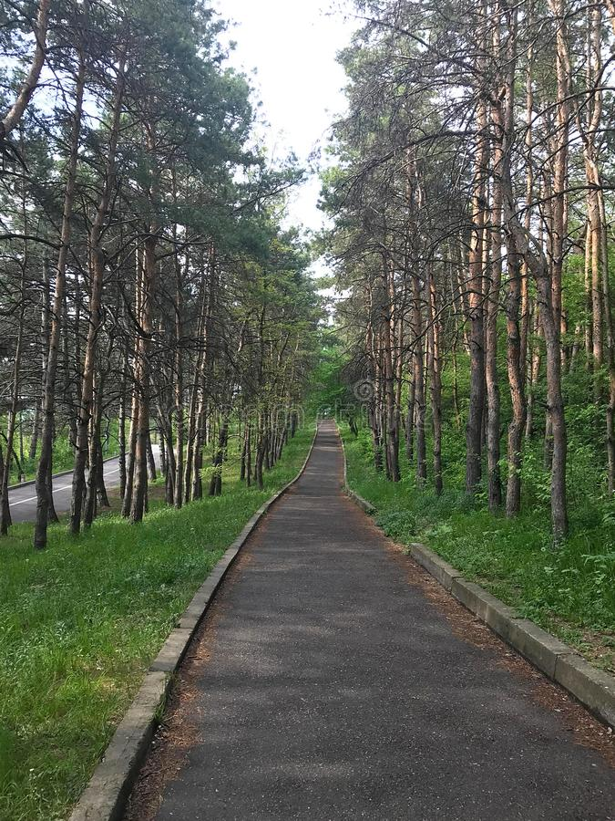 An asphalt road going through pine forest royalty free stock images