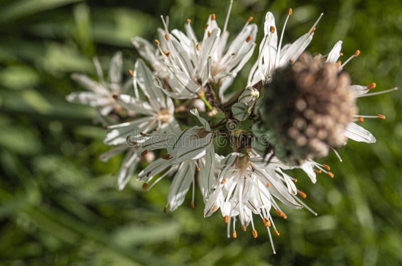 Asphodel flowering. Macro of an asphodel flower in a mountain meadow in late spring royalty free stock images