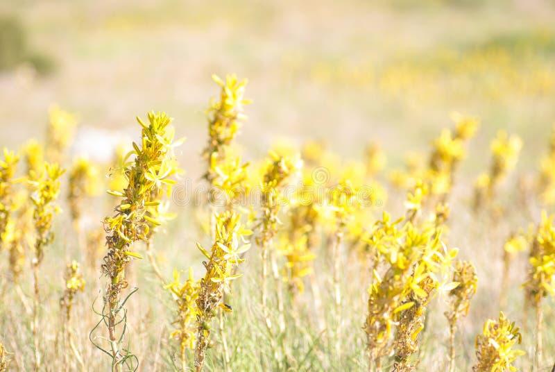 Asphodeline w jaskrawym świetle słonecznym Halna roślina obrazy royalty free
