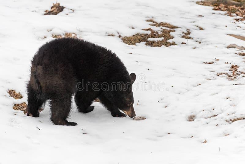 Aspiraciones americanus del Ursus del oso negro en el penacho de la piel fotografía de archivo libre de regalías