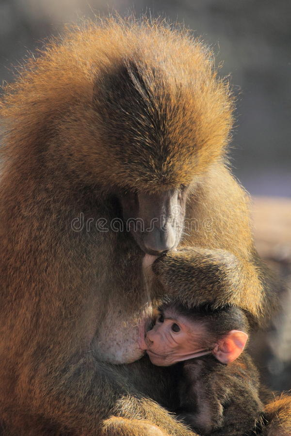 Aspirar el babuino de Guinea imagen de archivo