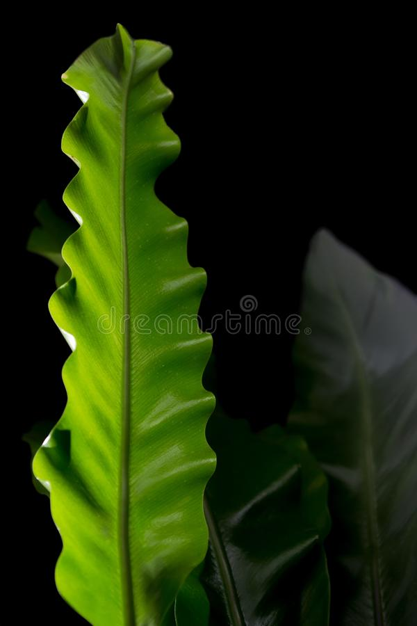 Asplenium mit hell reichen grünen Blättern auf einem dunklen Hintergrund Lang breite Blätter lizenzfreie stockfotos