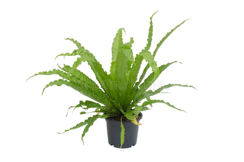 Asplenium nidus fern stock photography