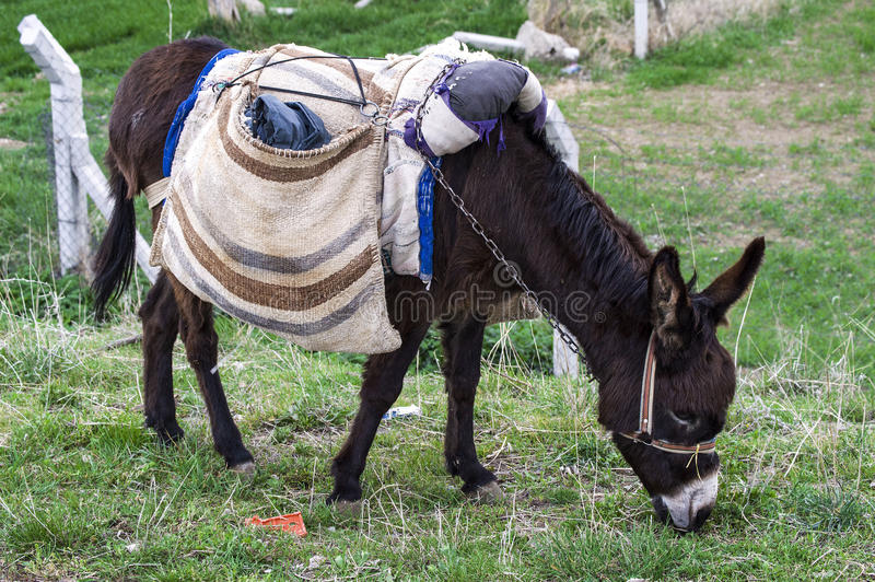Ass, pictures of donkeys, shepherd`s asses, beautiful cargo carrying a load, sable donkey, black donkey, amiable ass, beautiful do. Nkey pictures royalty free stock images