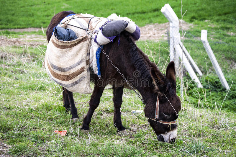 Ass, pictures of donkeys, shepherd`s asses, beautiful cargo carrying a load, sable donkey, black donkey, amiable ass, beautiful do. Nkey pictures royalty free stock photos