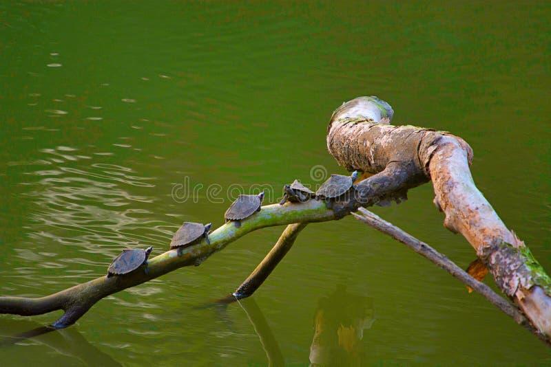 Assam telhou tartarugas, sylhetensis de Pangshura, parque nacional de Kaziranga, Assam foto de stock royalty free