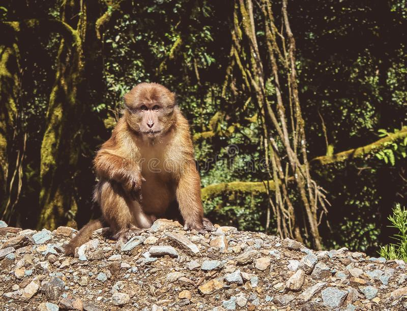 Assamese Macaque (assamensis macaca), Μπουτάν στοκ φωτογραφία με δικαίωμα ελεύθερης χρήσης