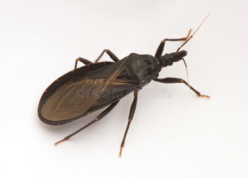 Assassin bug closeup. Detail of an assassin bug, also known as a kissing bug, carrier of Chagas disease royalty free stock photos
