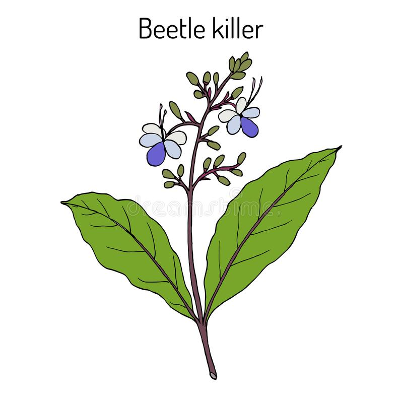 Assassino do besouro, serratum de Clerodendrum, planta medicinal ilustração stock