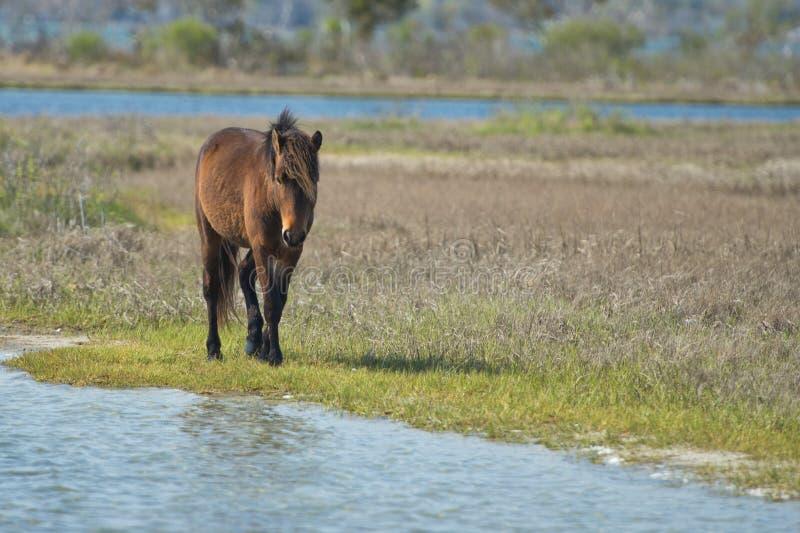 Assateague horse wild pony stock image