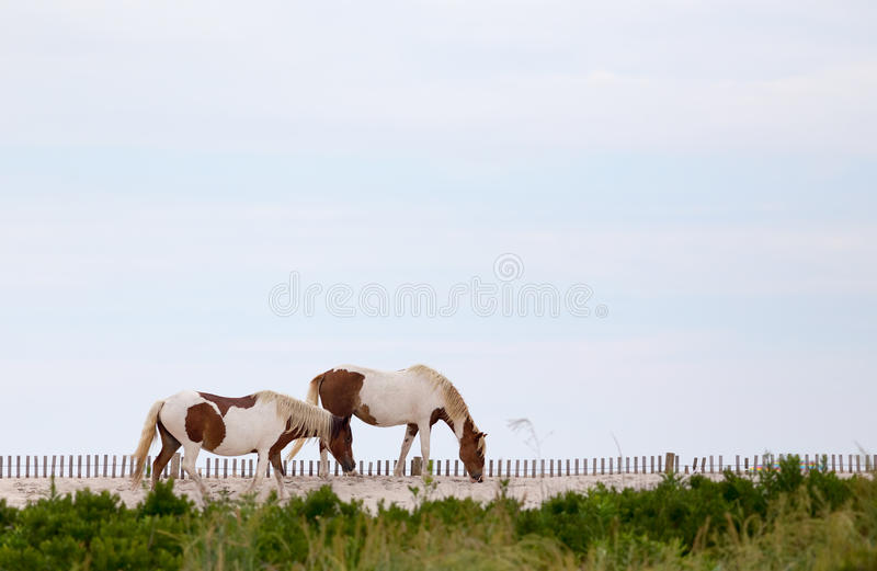 assateague koni wyspa dzika zdjęcie stock