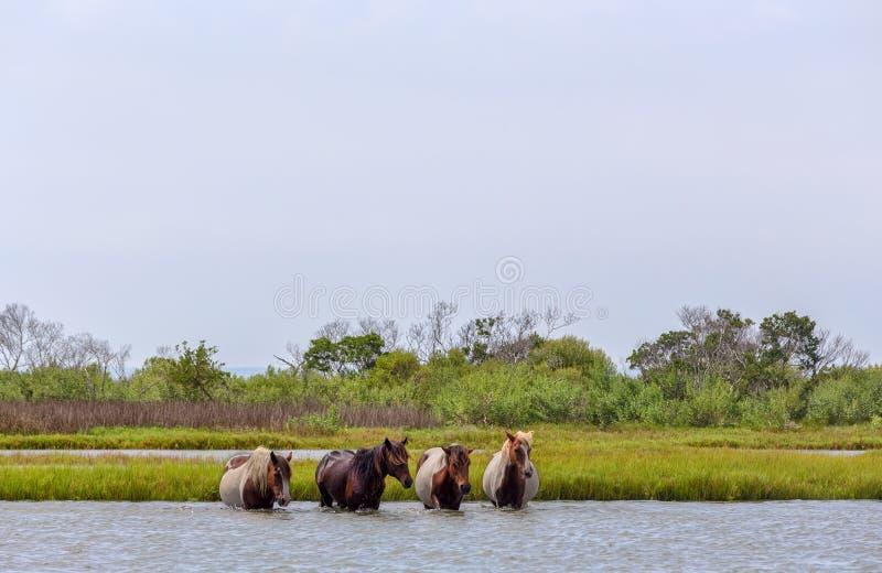 Assateague lösa ponnyer som korsar fjärden royaltyfria bilder