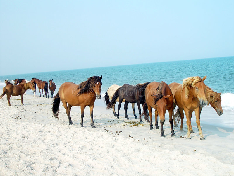 Assateague Ponies royalty free stock photo