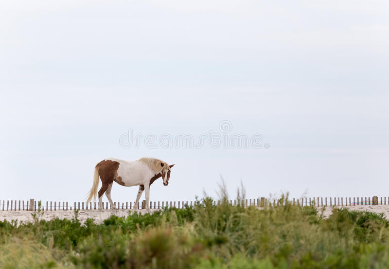Assateague Wild Pony on the Beach stock image