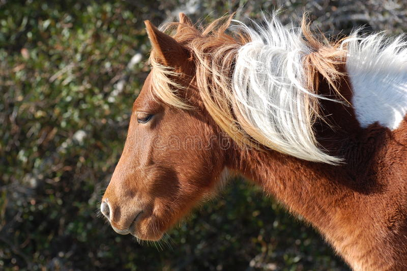 Assateague Wild Pony Profile royalty free stock images