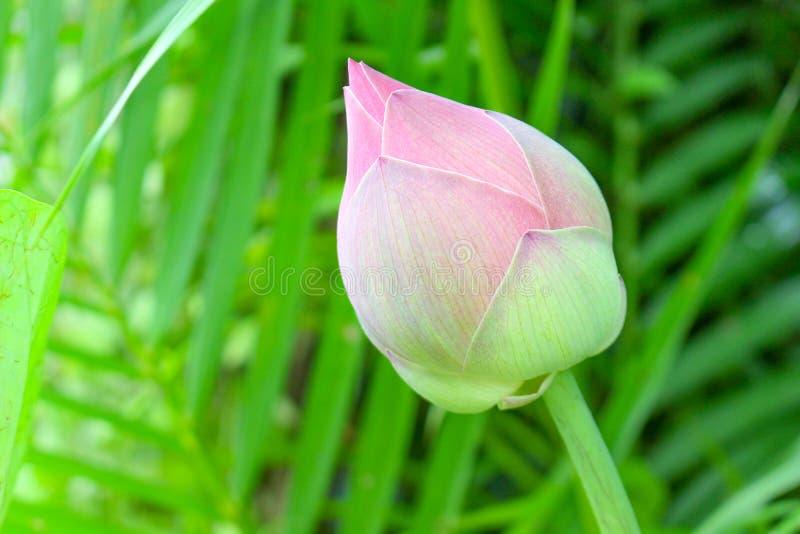 Assemblée plénière de Roseum ou double lotus rouge photo libre de droits