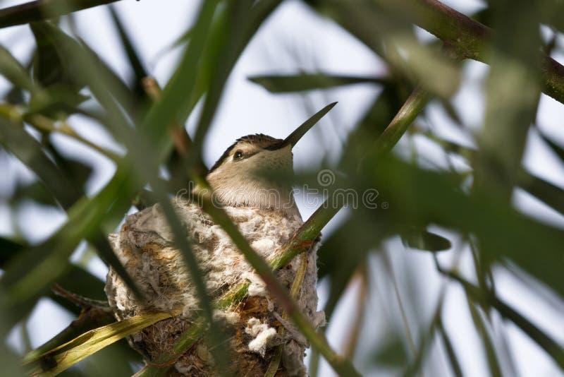 Assentamento do colibri fotos de stock royalty free