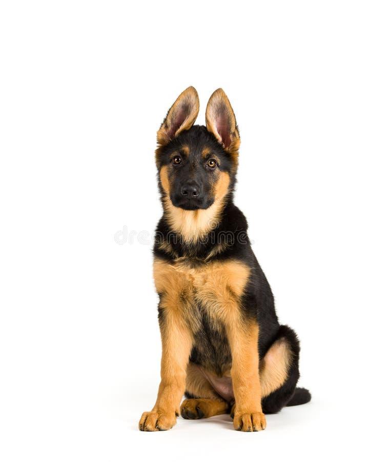 Assento alemão bonito do cão-pastor do cão de cachorrinho foto de stock royalty free