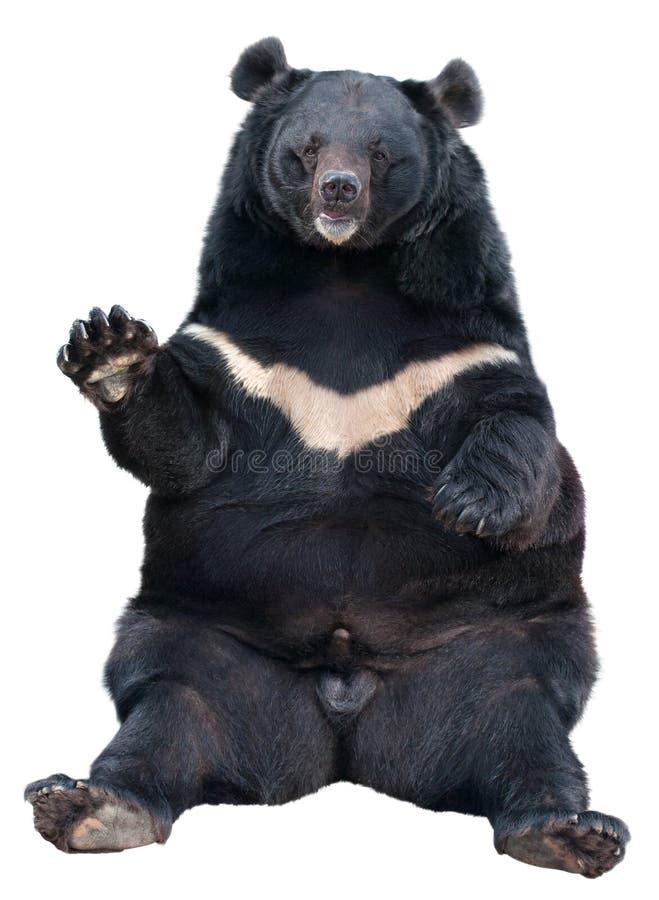 Assento asiático do urso preto imagens de stock
