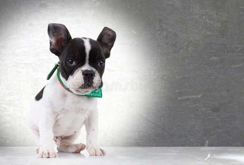 Assento bonito do cão de filhote de cachorro do buldogue francês imagens de stock