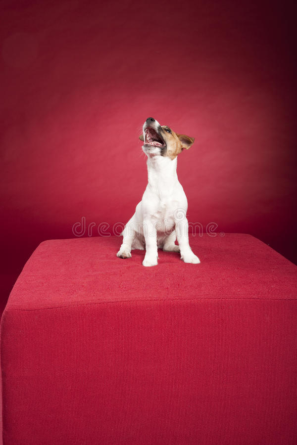 Assento bonito do terrier de russell do jaque foto de stock royalty free