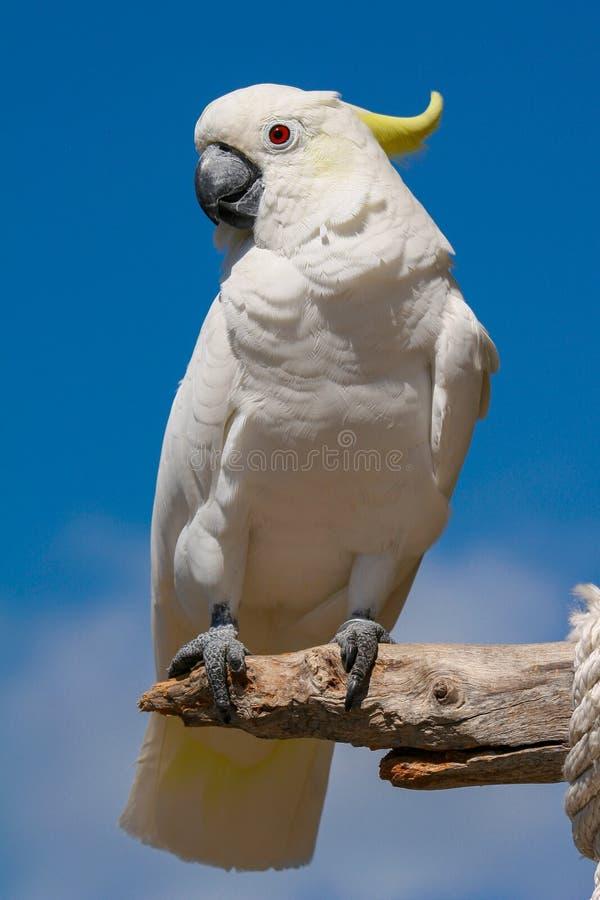Assento branco do papagaio de cacatua no ramo de madeira foto de stock royalty free