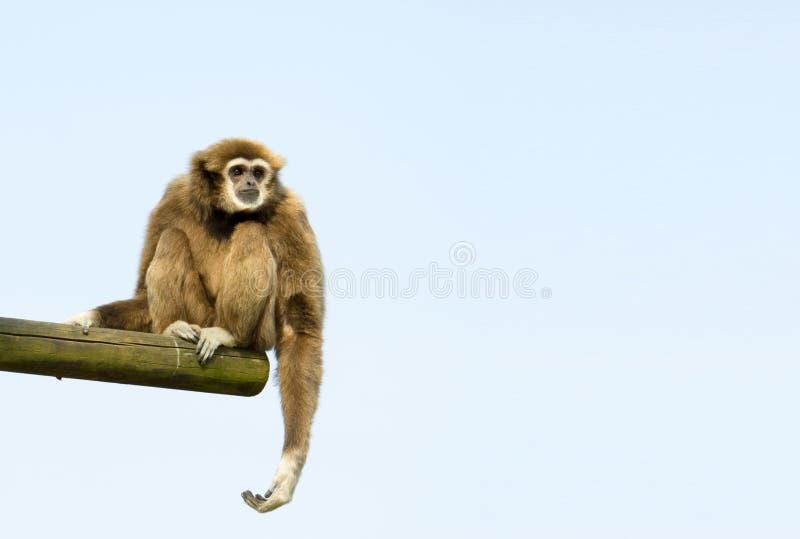 Assento Branco-Entregue do Gibbon imagens de stock