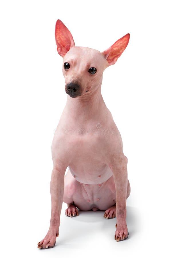 Assento calvo americano novo do cão de Terrier isolado no fundo branco fotos de stock royalty free