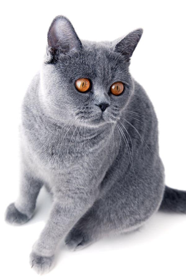 Assento cinzento bonito novo do gato foto de stock royalty free