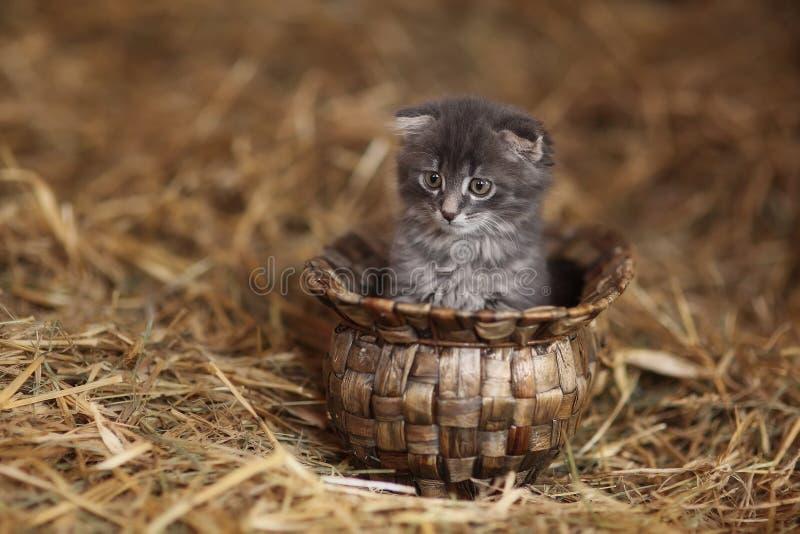 Assento cinzento pequeno do gatinho imagem de stock