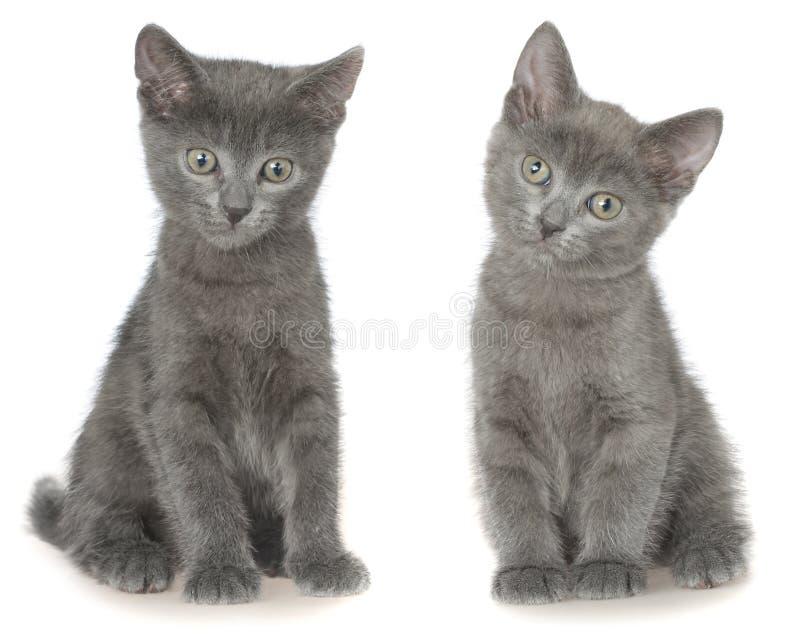 Assento cinzento pequeno do gatinho do shorthair dois isolado fotos de stock royalty free