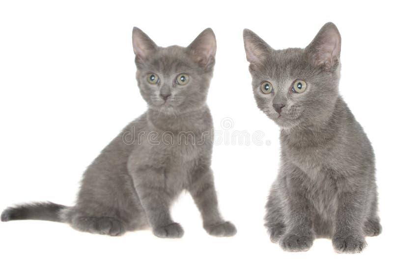 Assento cinzento pequeno do gatinho do shorthair dois isolado foto de stock royalty free