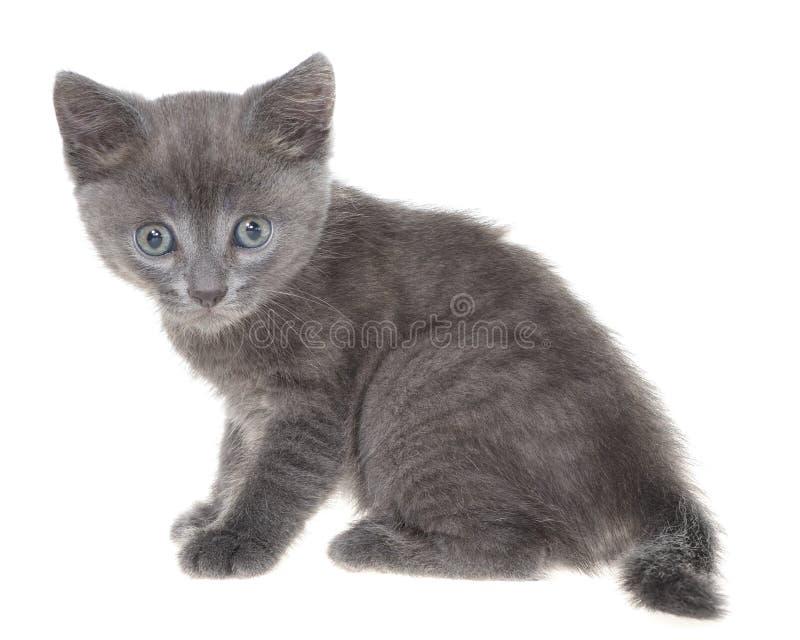 Assento cinzento pequeno do gatinho do shorthair isolado imagens de stock royalty free