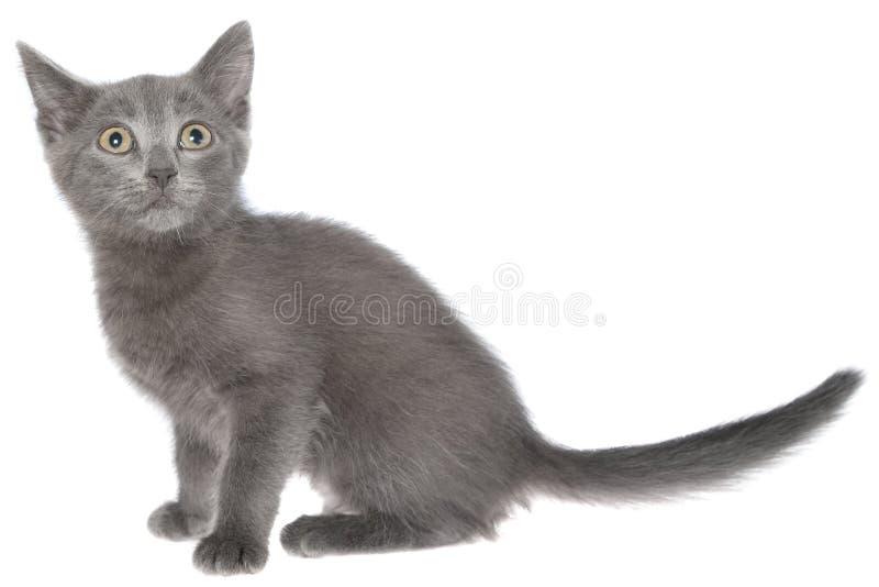 Assento cinzento pequeno do gatinho do shorthair isolado imagem de stock royalty free
