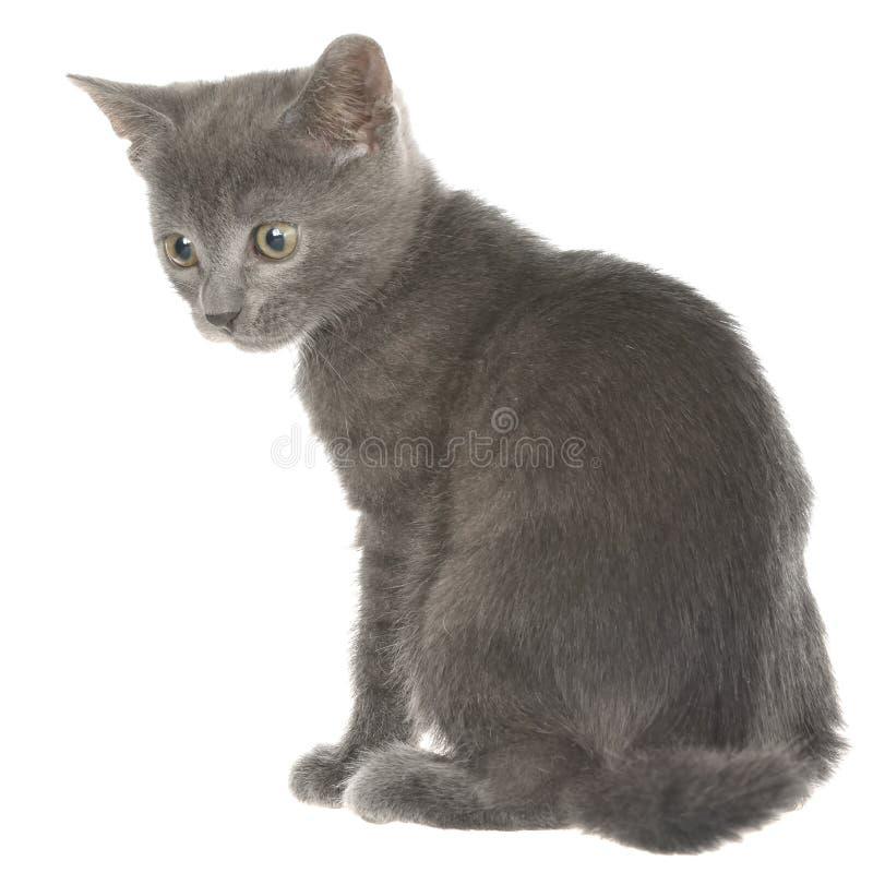 Assento cinzento pequeno do gatinho do shorthair isolado imagens de stock