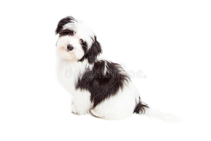 Assento curioso do cão de Havanese imagens de stock royalty free