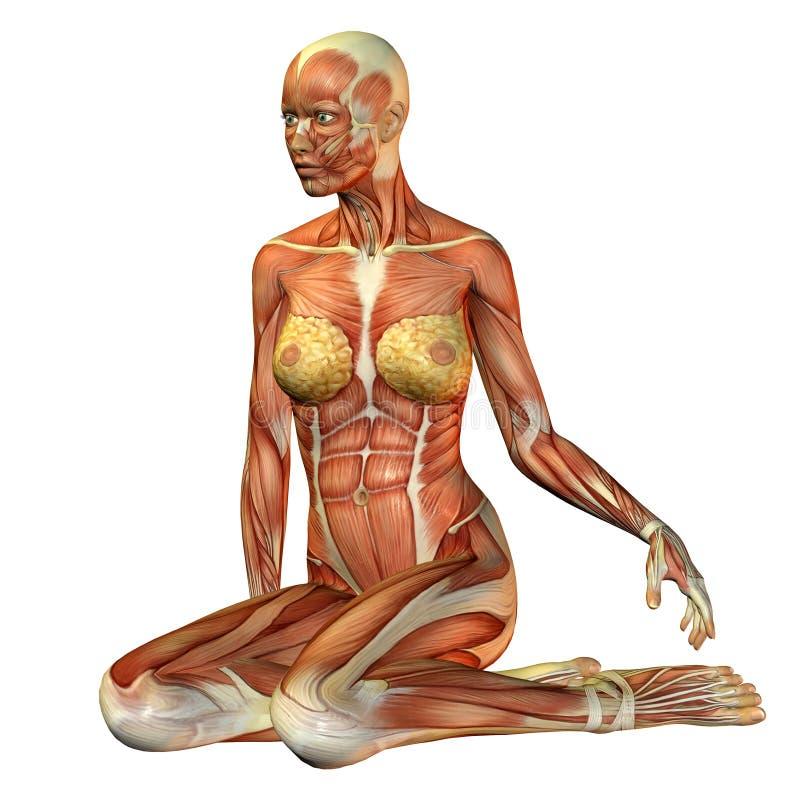 Assento da mulher do músculo do estudo ilustração do vetor