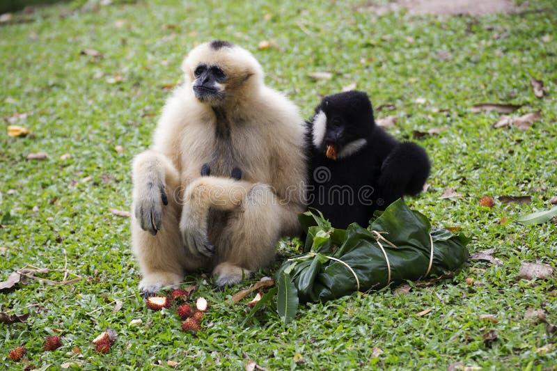 Assento de Cheeked Gibbon ou de Lar Gibbon fotos de stock royalty free