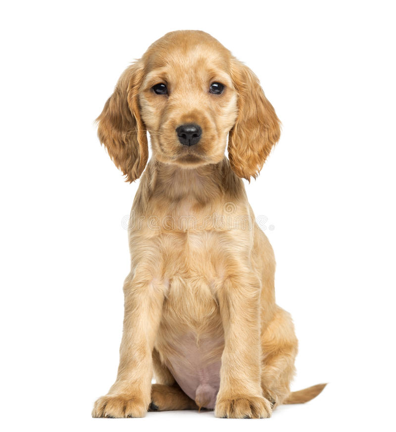 Assento de cocker spaniel do inglês do cachorrinho, 9 semanas velho foto de stock