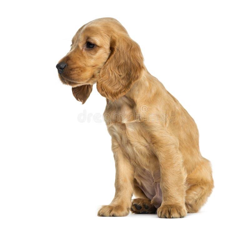 Assento de cocker spaniel do inglês do cachorrinho, 9 semanas velho fotografia de stock