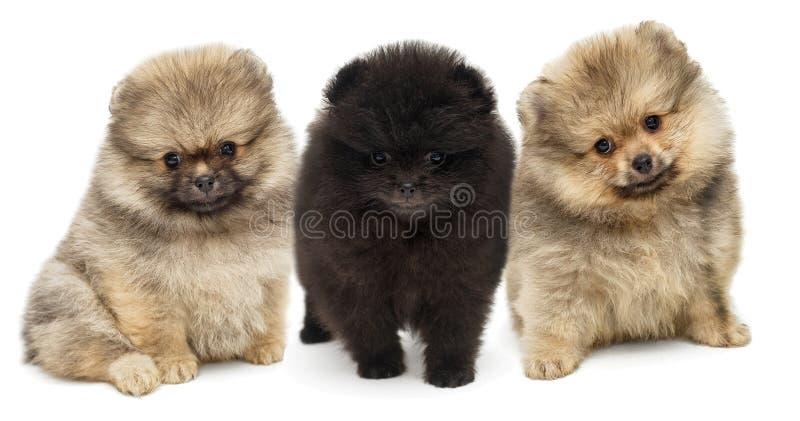 Assento de três cachorrinhos de Pomeranian fotografia de stock