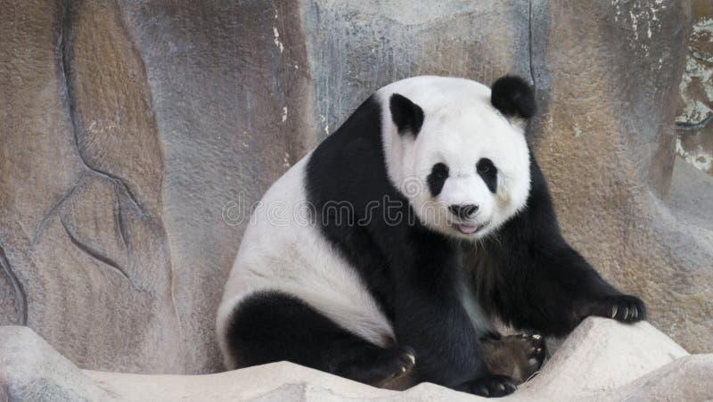 assento do animal do urso de panda e relaxamento foto de stock royalty free