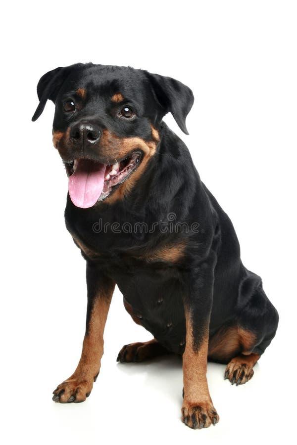 Assento do cão de Rottweiler fotografia de stock royalty free