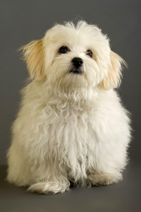 Assento do cão maltês imagens de stock