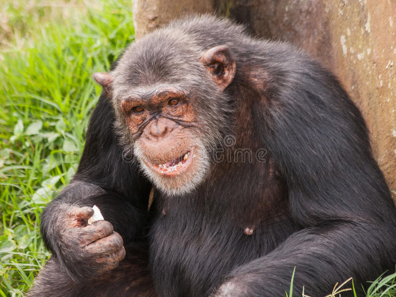Assento do chimpanzé da fêmea adulta de volta à árvore e a comer foto de stock royalty free