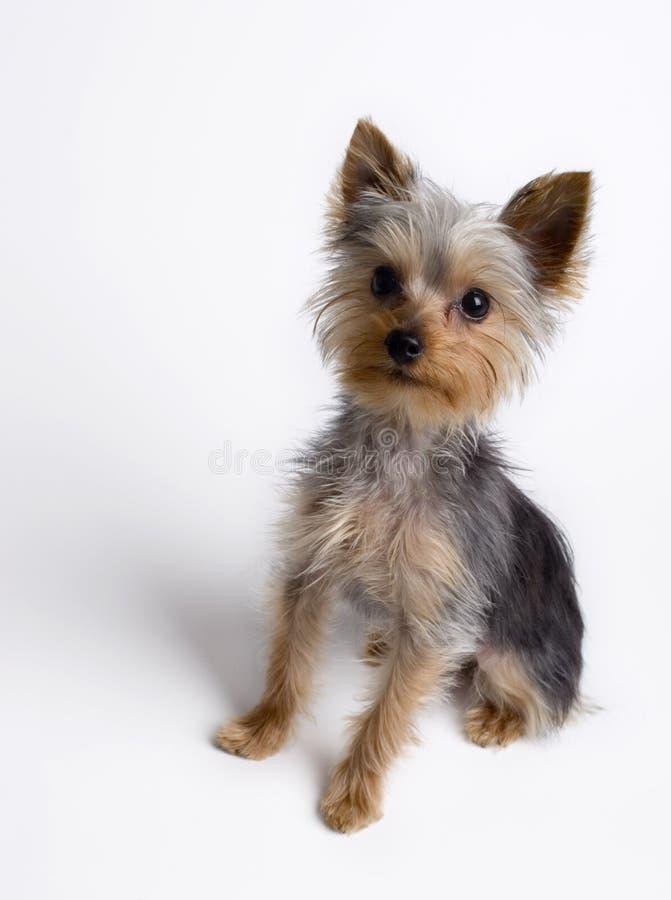 Assento do filhote de cachorro de Yorkie fotos de stock royalty free