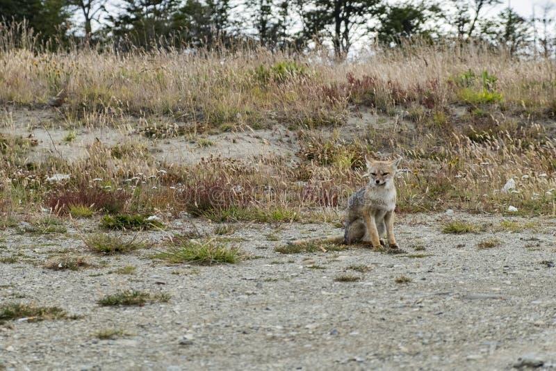Assento do Fox vermelho Patagonia, Argentina fotografia de stock royalty free